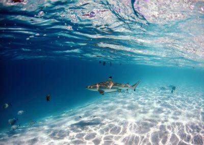 a blacktip reefshark monitoring the sandbanks of French Polynesia